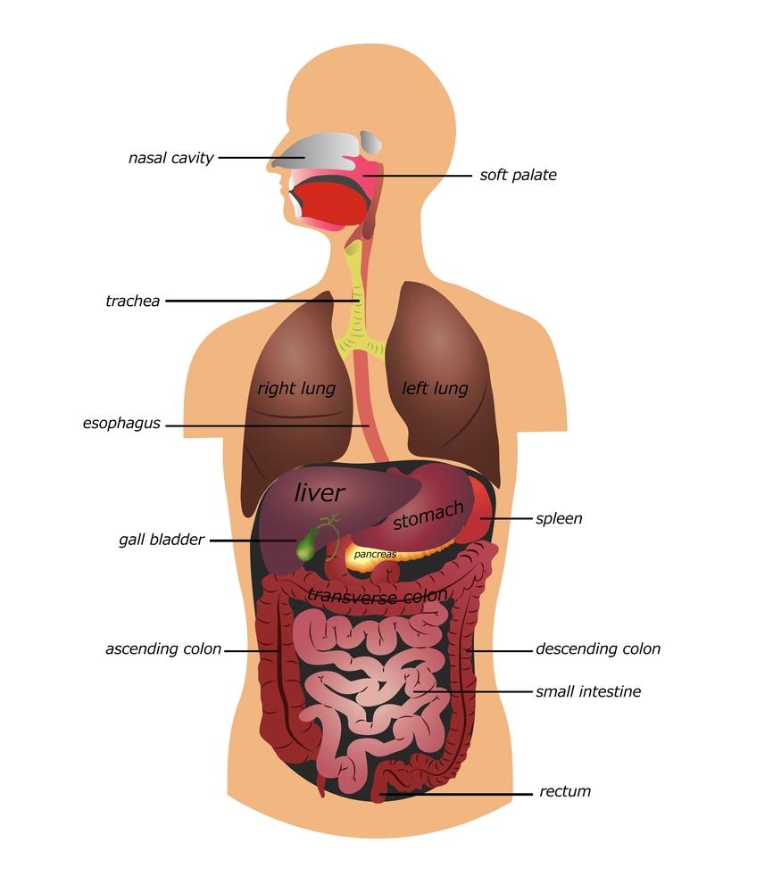 digestiveillustration